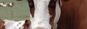 Elsie, die Kuh